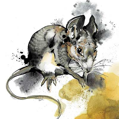 rat watercolour painting